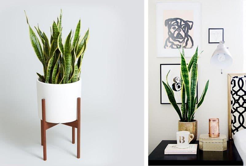 Un suport designish va scoate in evidență grafica liniilor, atât de specifică acestei plante. Snake plant se potrivește de minune în dormitor, datorită puterii sale de absorbție a toxinelor din aer.