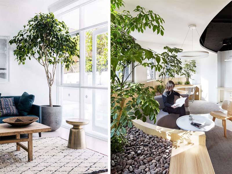 Această specie de ficus se potrivește perfect interioarelor cu influențe scandinave. Mai mult decat atât, ce zici de mobilier special creat pentru a incorpora plante? Nouă ni se pare o idee super, mai ales pentru o zonă non-formală, din cadrul unui spațiu de birouri. Surse foto: https://www.myscandinavianhome.com/2017/08/sleek-and-rustic-in-sydney-bachelor-pad.html și https://www.archdaily.com/786287/a-hidden-garden-behind-the-concrete-walls-muxin-design