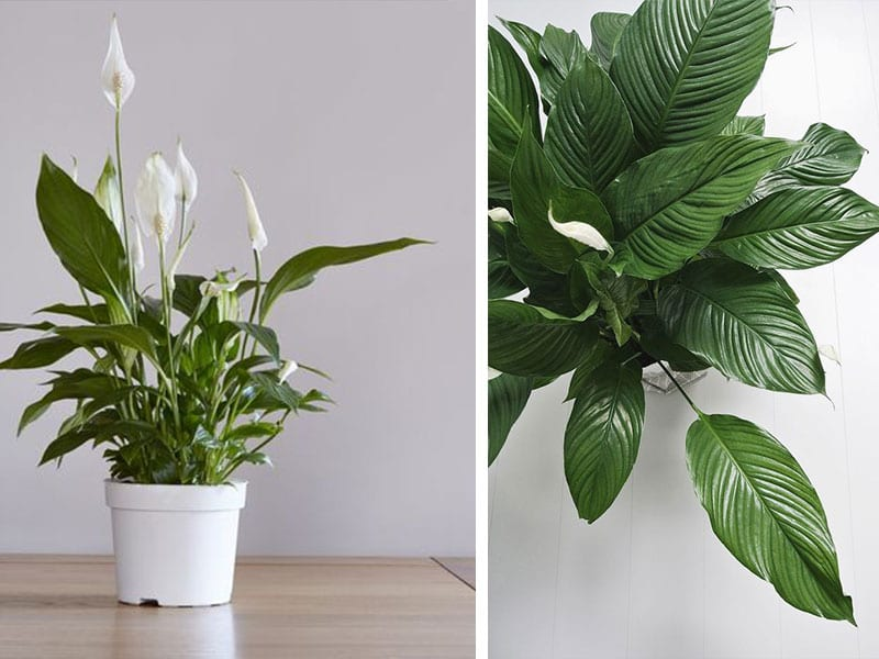 Sursă foto: http://uniqueplantideas.com/plants-that-clean-the-air-indoors-for-better-breathing/