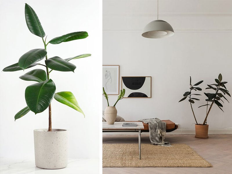 Sursă foto: http://blog.sarahledonne.com/2016/03/conpot-london-concrete-planters/ https://apartment34.com/2018/05/rubber-leaf-plant/